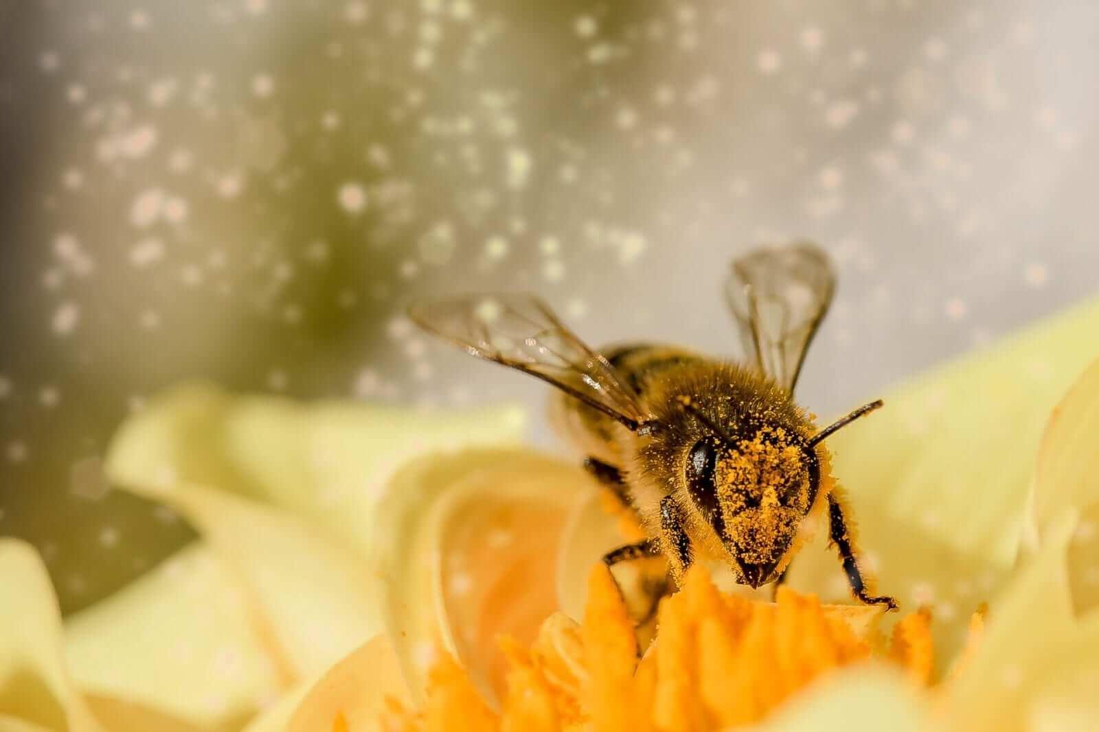 Biene macht Manuka Honig